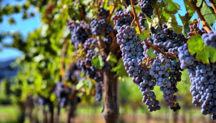 промышленный виноградник Адыгеи