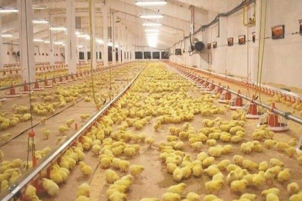 птицефабрика в Калининграде